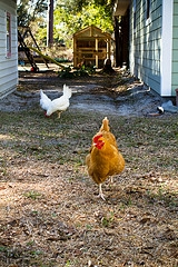 chicken coop yard